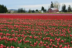 frolic through fields of colorful flowers at skagit valley s annual tulip festival this april jessica stein