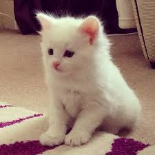 cute white fluffy kittens for sale.  White Cute Kittens Images Fluffy Felines Wallpaper And Background Photos On White Fluffy For Sale A
