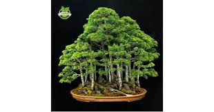 office bonsai tree. 20 Juniper Bonsai Tree Seeds Potted Flowers Office Purify The Air Absorb Harmful Gases A