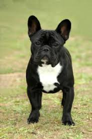 solid black french bulldog. French Bulldog Dog Breed Intended Solid Black