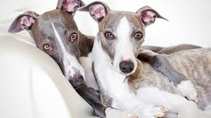 10 Quick Facts About Whippets Mental Floss