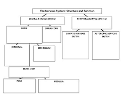 Function Chart Worksheet Nervous System Structure And Function Chart By Kris Whelan Tpt