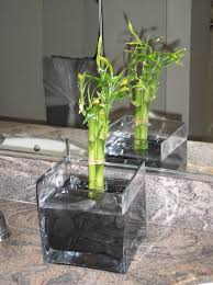 In most cases when people think about indoor bamboo they're actually  thinking of lucky bamboo. Lucky Bamboo Growing