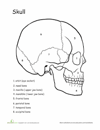 Small Picture Awesome Anatomy Skull Science Anatomy Worksheets and Human anatomy