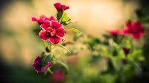 Red Flower Wallpaper Wallpaper Wiki Hd Beautiful Red Flowers Wallpaper Pic Wpd0013215