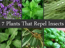 Plants that keep bugs away