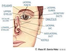Eyelid Anatomy Exploring The World Of Vision A Little Bit Of Basic Ocular Anatomy