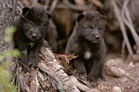 park rangers shoot two wolf pups the last two wolves in yellowstone