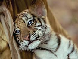 baby white tigers drawing. Simple White Cutebabywhitetigercubshdtigerbengaltigerfacedrawinghdcutejpg For Baby White Tigers Drawing R
