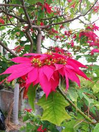 Weihnachtsstern Euphorbia Pulcherrima Flowers Blumen