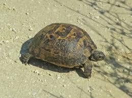 Greek Tortoise Wikipedia