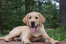 can labradors see colors all you need