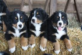 beautiful bernese mountain dog puppies for