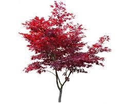 japanese maple care millcreek gardens