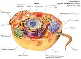 animal cells diagram   diabetes inc animal cell diagram