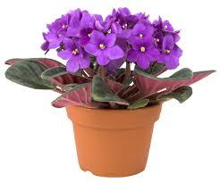 african violets at garden goods direct