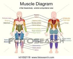 Each of these muscles is a discrete organ constructed of skeletal muscle tissue blood vessels tendons and nerves. Muscle Diagram Female Body Names Clip Art K51052178 Fotosearch