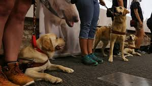 future guide dogs graduate from nsw act guide dog training programthe doggy blogger
