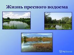 Презентация на тему Жизнь пресного водоема Пресно водный  1 Жизнь пресного водоема