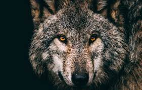 Black Wallpaper Wolf Face