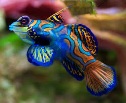 different colored clown fish. Exellent Clown Not To Be Confused With Mandarin Fish Chinese Perch The Mandarinfish Or  Mandarin Dragonet  Synchiropus Splendidus  Is A Small Brightlycolored Member  Inside Different Colored Clown C
