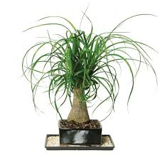 ... Large-size of Hilarious Bonsai Ponytail Palm Bonsai Ponytail Palm Home  Depot in Indoor Palm ...