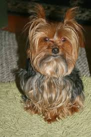 yorkshire terriers originated form the english county of yorkshire they are perhaps the most por breed of dogs and are loved for their personality