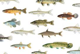 Freshwater Fish Identification Chart Fotx Home