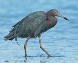 Image result for Little blue heron
