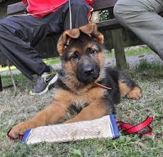When Will My German Shepherds Ears Stand Up Pethelpful