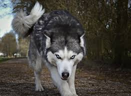 View and share our wolf wallpapers post and browse other hot wallpapers, backgrounds and images. Wolf Wallpapers Free Hd Download 500 Hq Unsplash