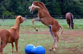 baby horses playing. Plain Baby Foals Playing Together Inside Baby Horses Playing R