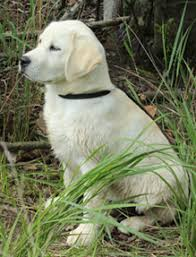 most are stocky dependable hunters and great panions while others pete in hunt tests shows and performance events many of the dogs pete in more