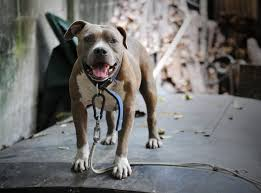 Types Of Pitbulls Chart Types Of Pitbulls Learn Their Differences