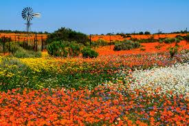 namaqualand south africa namaqualand flowers