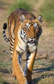 "tigers the beauty of nature voices of youth recently the world celebrated ""international tiger day"" on 29 so today i want to post about endangered mammal tigers"