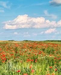 green grass blue sky flowers. Green Field Red Flowers Blue Sky Grass