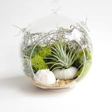 air plants in terrariums create an unforgettable air plant