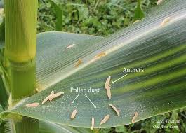 6 tips for growing corn in small spaces understanding corn pollination is part of it