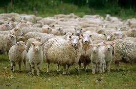 Resultado de imagem para imagem de ovelhas perdidas