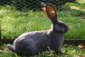 Afbeeldingsresultaat voor vlaamse reus konijn