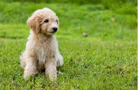 Mini Goldendoodle Weight Goldenacresdogs Com