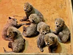 - Zoo Cheetah Saint Cubs Louis Simplemost Bingwa
