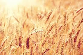 Resultado de imagen de proteinas de trigo