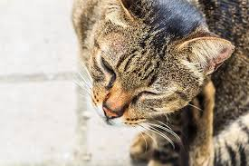 Itchiness in Cats - Symptoms, Causes, Diagnosis, Treatment, Recovery ...