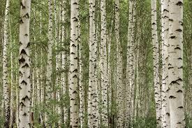 mu1120 birch tree forest
