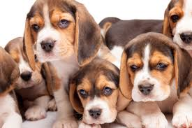 beagle puppies. Unique Beagle Beagle Intended Puppies 8