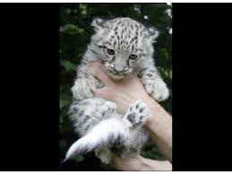 baby white tigers for sale. Beautiful Sale White Tigers Lion Cubs And Leopard For Sale Inside Baby Tigers For Sale Y