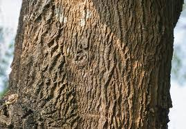 முருங்கைப் பட்டை |  முருங்கை பட்டை மருத்துவ குணம்