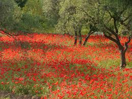 poppies and olive trees some of the signature foliage of provence